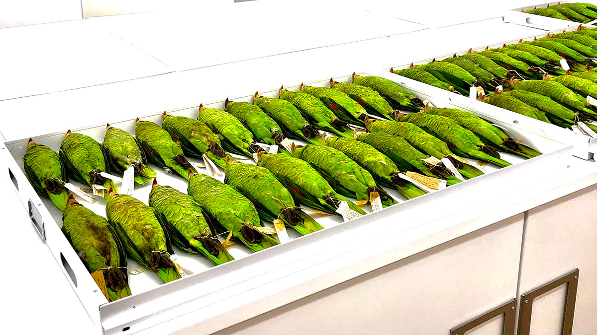 A tray with dozens of brightly colored green parrots
