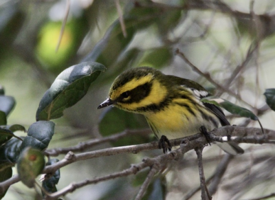 Photo of Townsend's Warbler