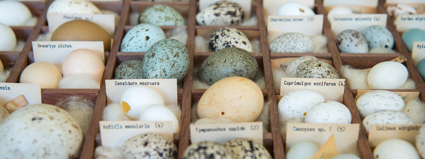 Dozens of multicolored eggs in the Moore Lab's collection