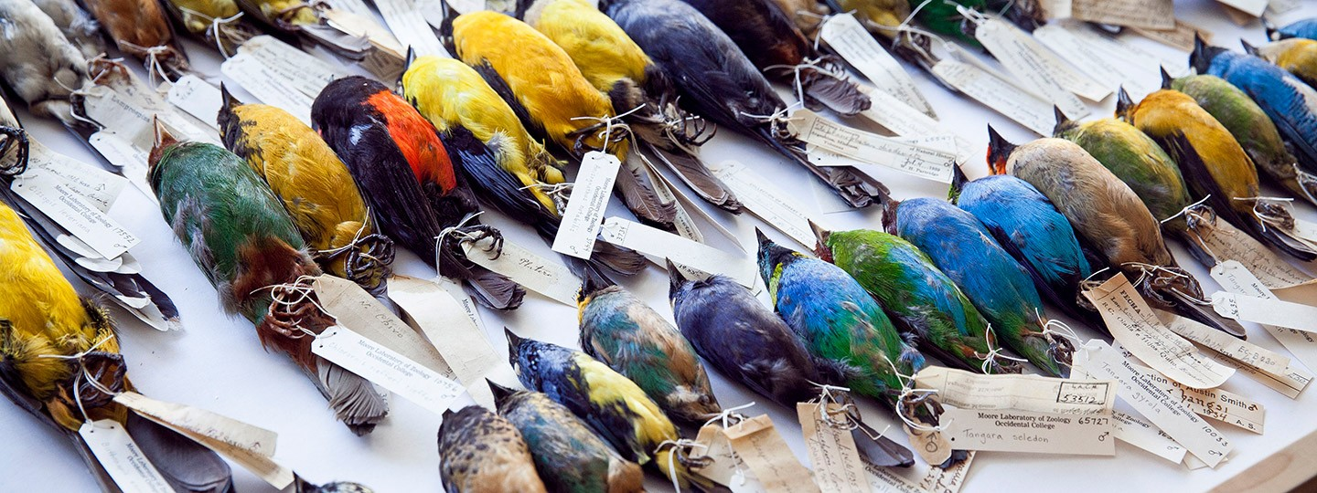 An array of colorful birds from the Moore Lab collection