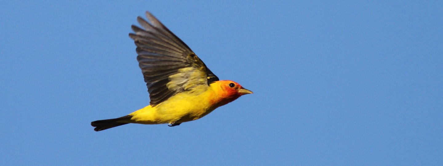 A bird with a yellow body and red head in flight on a bright blue sky