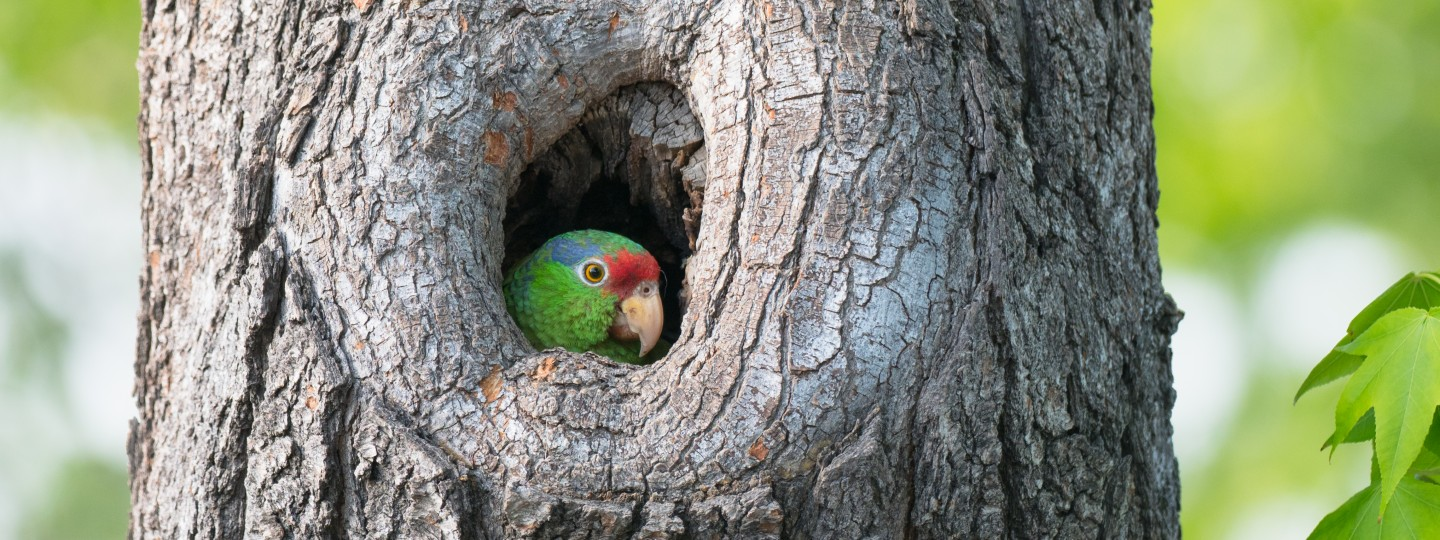 A wild parrot nests in a tree near Occidental College